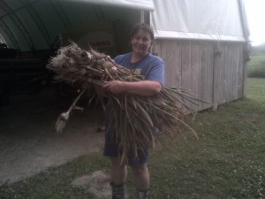 Garlic harvest time