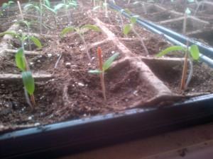 My Baby Tomato Plants