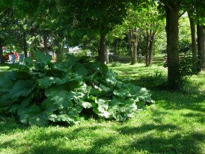 Rhubarb plant Last Year