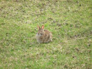 Mr Cottontail is enjoying spring